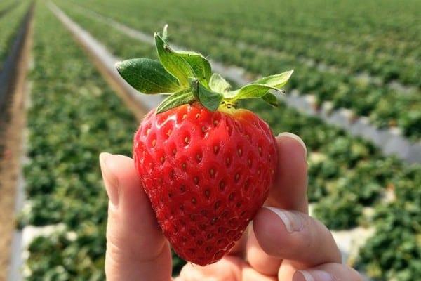 California strawberry farm visit - More on theothersideofthetortilla.com