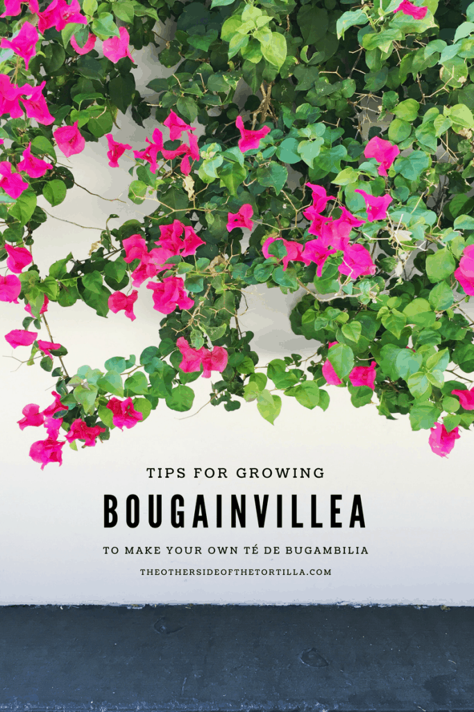 Tips for growing bougainvillea flowers both indoors and outdoors in the United States, and how to use them to make tea, via theothersideofthetortilla.com